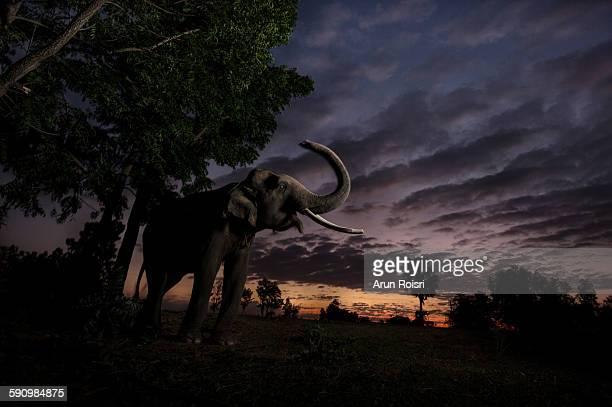 Indian elephant (Elephas maximus)