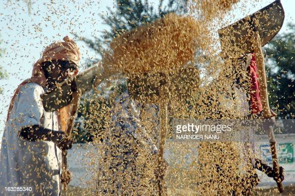 Indian farm labourers use shovels as they separate grains of rice from the husk at a grain market in Amritsar20 September 2005 Large numbers of...