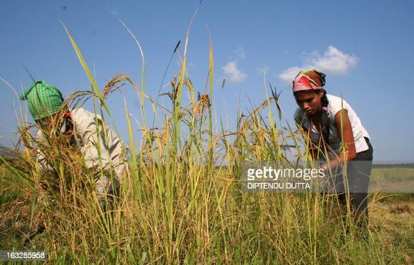 Indian farm workers cut the mature paddy in a paddy field in the Milanmore village area on the outskirts of Siliguri 01 November 2007 Rice is...
