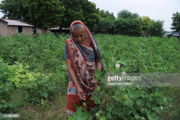 Indian farmer 65 year old Madhuben Dasrathbhai Gol checks cotton plants on her farm at Badarkha village some 30 kms from Ahmedabad on September 12...
