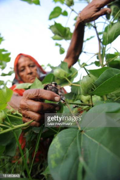 Indian farmer 65 year old Madhuben Dasrathbhai Gol holds decayed cotton buds on her farm at Badarkha village some 30 kms from Ahmedabad on September...