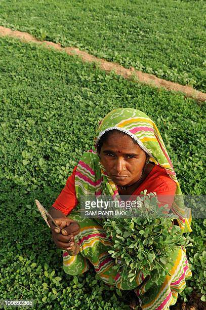 Indian farmer Bhuriben shows spinach grown with polluted water from the Sabarmati river in Gyaspur village near Ahmedabad on December 10 2009...