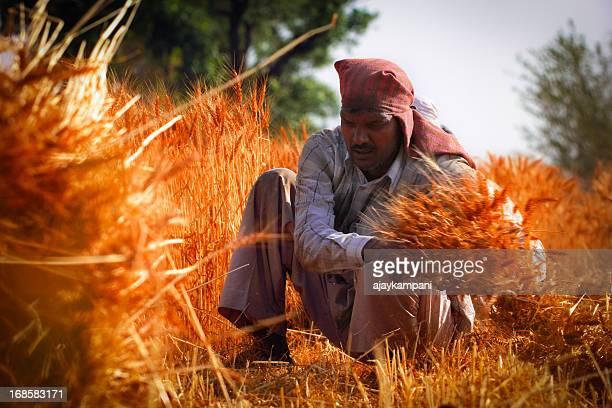 Indian farmer cutting, harvesting wheat