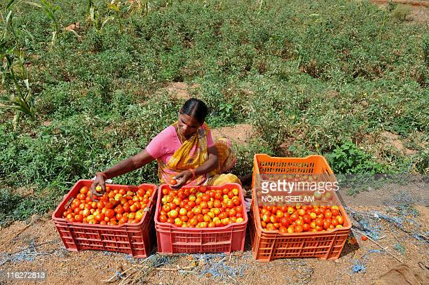 Indian farmer Dhumpa Savitri sorts tomatoes in her field on the outskirts of Hyderabad on June 11 2011 India is an agrarian country with around 60...