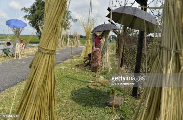TOPSHOT Indian farmer dry jute vegetable fibres in Datrapara village near the IndiaBangladesh border some 25km from Siliguri on August 4 2017 / AFP...