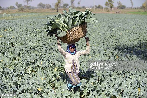 Indian farmer Gomtiben lifts a basket loaded with cauliflowers in a field in Rasalpur village some 50 km from Ahmedabad on January 26 2016 AFP PHOTO...