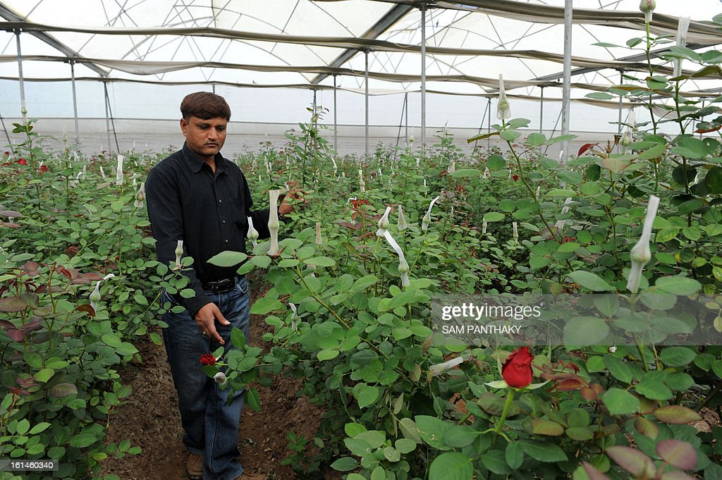 Indian farmer Hiteshbhai Patel, 35, walks in his greenhouse growing Dutch roses in the village of Badarkha, some 30 kms from Ahmedabad on February 11, 2013. On the Valentine's Day which falls on February 14, the demand for roses and flowers increases as they are given as gifts. Hiteshbhai has included a cold storage facility also in the village to preserve Dutch roses to meet any last minute demand. AFP PHOTO / Sam PANTHAKY
