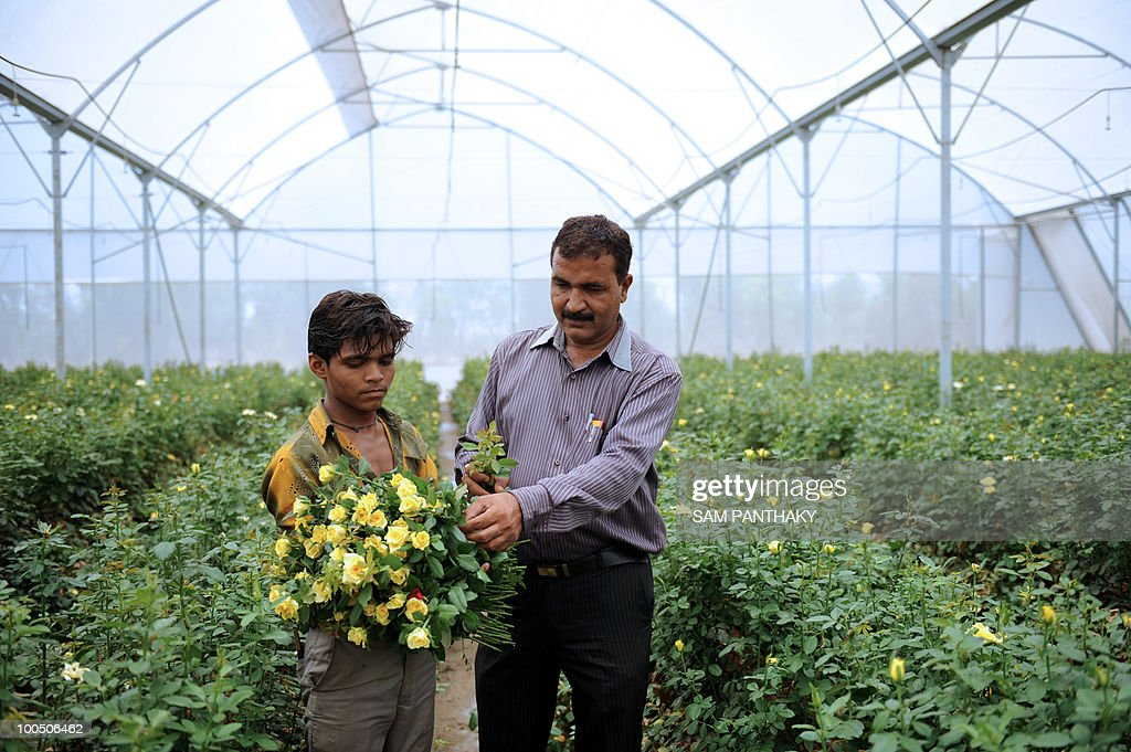 Indian farmer Mahendrabhai Patel (R) supervises the collection of Dutch roses at Vandan Floritech greenhouse in the village of Kasindra, some 25 kms. from Ahmedabad on May 25, 2010. Vandan Floritech has two greenhouses of one acre each built with technology and automation from an Israel based company. A temperature of 38 degrees Celcius is maintained in the greenhouses where some 900,000 roses are produced in each every year using The Reverse Osmosis (RO) system of watering. AFP PHOTO/Sam PANTHAKY