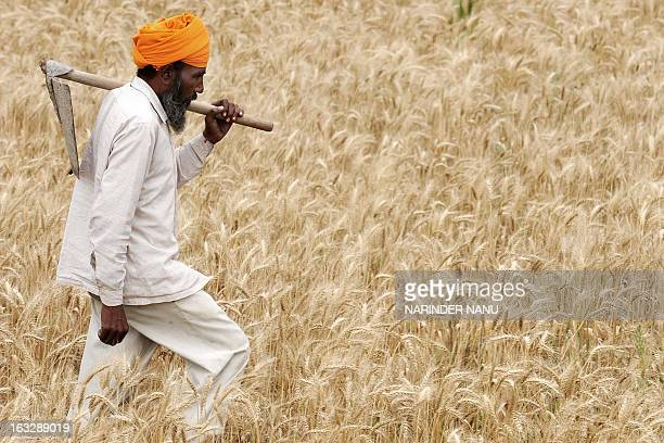 Indian farmer Sawinder Singh holds a shovel as he walks through his crop of wheat in a field on the outskirts of Amritsar on April 8 2009 Some 20...