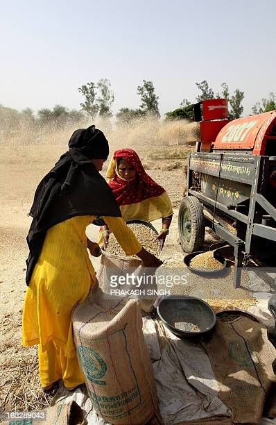 Indian farmers collect grains after processing wheat in a field of Ghaziabad some 35kms east of New Delhi on April 23 2008 The Indian government has...