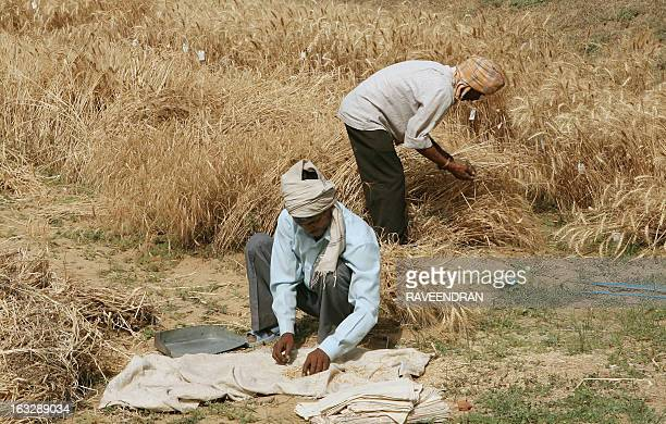 Indian farmers harvest a crop of wheat in a field on the outskirts of New Delhi on April 23 2008 The Indian government has decided to establish a...