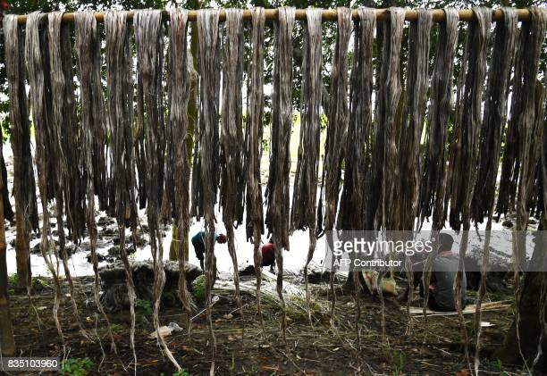 Indian farmers harvest jute fibres at Krishnanagar in Nadia District some 130kms east of Kolkata on August 18 2017 Jute is one of the most important...
