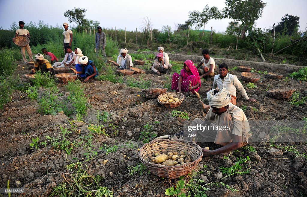 Indian farmers harvest potatoes at a field at Arial village near Allahabad on March 12, 2013. Agriculture contributes about 15 percent to India's gross domestic product but only 40 percent of farms are irrigated.