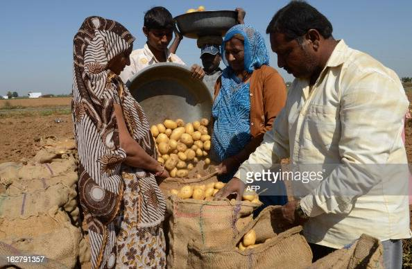 Indian farmers harvest potatoes at a field at Nadol village of Dehgam Taluka some 35 kms from Ahmedabad on the eve of announcement of Union Budget...