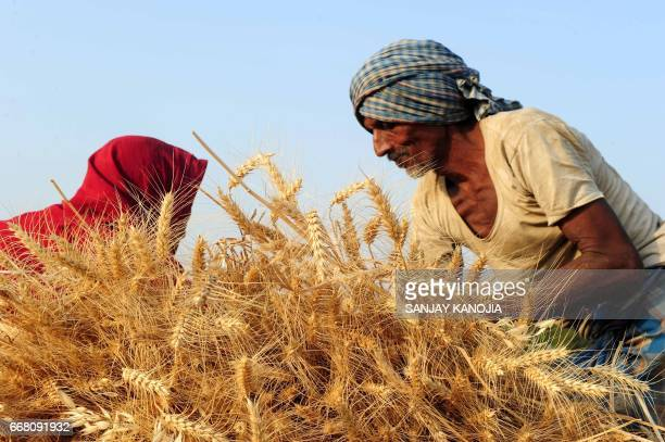 TOPSHOT Indian farmers harvest wheat in a field near Allahabad on April 13 2017 / AFP PHOTO / SANJAY KANOJIA