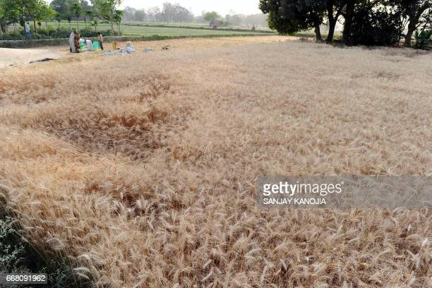 Indian farmers harvest wheat in a field near Allahabad on April 13 2017 / AFP PHOTO / SANJAY KANOJIA