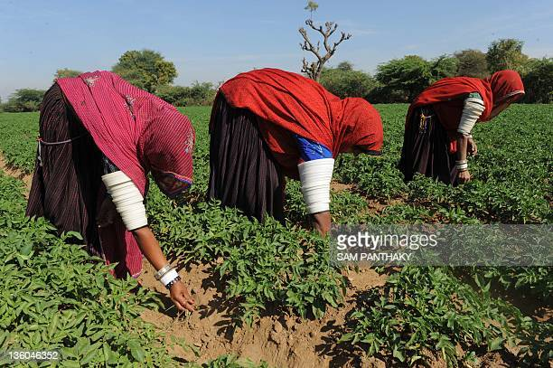 Indian farmers originally from the state of Rajasthan work in a potato field in Ranpar village on the outskirts of Dessa town some 170 kms from...