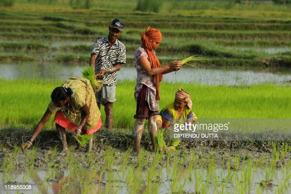 Indian farmers plant rice in a paddy field in Milanmore village on the outskirts of Siliguri on July 4 2011 India's weather office in May forecast a...