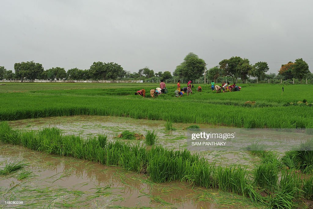 Indian farmers plant rice paddy near Narimanpura village, some 30 kms from Ahmedabad, on July 13, 2012. Annual monsoon rains, crucial to India's economy, covered the country on July 11 but remained 23 percent below average, sparking fears of their impact on two cereal-producing states. The pounding rains that sweep across the continent from June to September are dubbed the 'economic lifeline' of India, which is one of the world's leading producers of rice, sugar, wheat and cotton. AFP PHOTO / Sam PANTHAKY