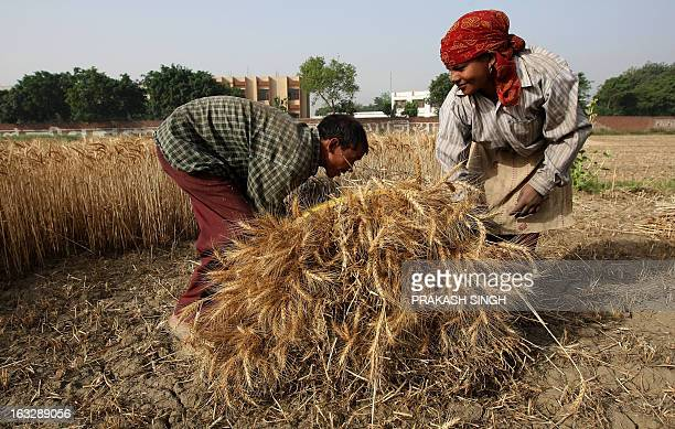 Indian farmers prepare a bundle of wheat crops in a field of Ghaziabad some 35kms east of New Delhi on April 23 2008 The Indian government has...