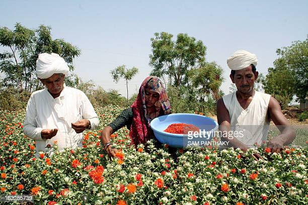 Indian farmers Valjibhai Rudabahi Patel Devabhai Valjibhai Patel and his wife Narbhiben pluck saffron flowers from their field in the village of...
