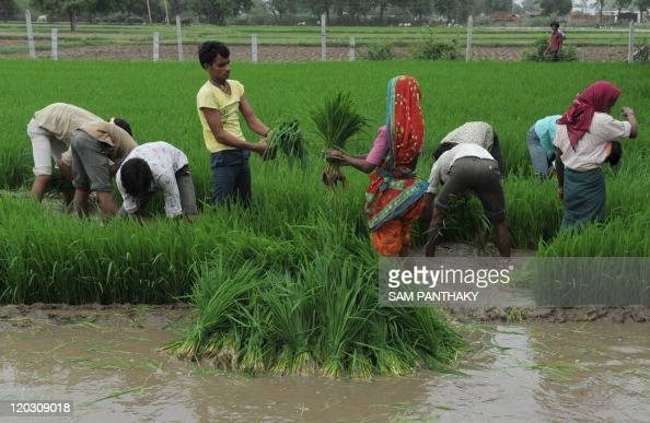 Indian farmers work in a rice paddy field in Narimanpura village in Gujarat on July 13 2011 Farmers in the Western Indian state of Gujarat are...
