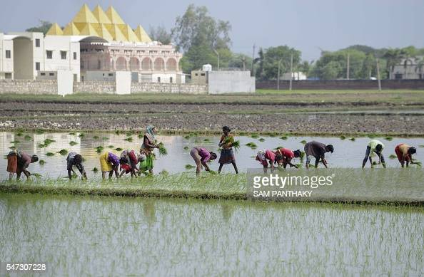 Indian farmers work in a rice paddy field on the outskirts of Ahmedabad on July 14 2016 / AFP / SAM PANTHAKY