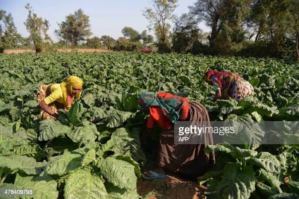 Indian farmers work in a tobacco plantation at Dhamasana village of Kalol Taluka some 40 kms from Ahmedabad on March 13 2014 Over 70 percent of...