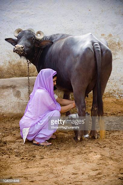 Indian Female Milking Buffalo