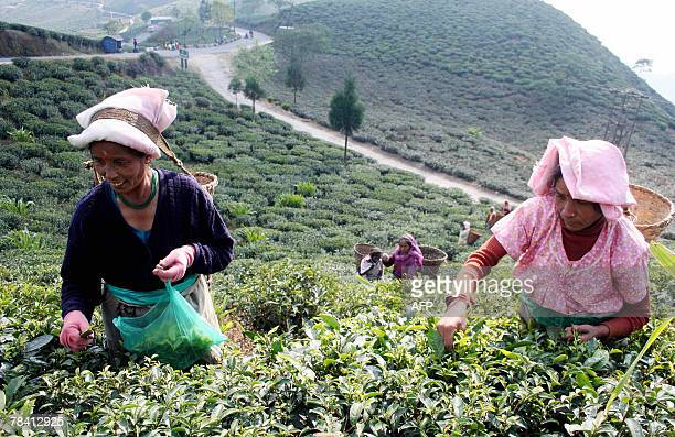 Indian Female Tea garden labourers pluck tea leafs at the Soureni Tea Garden near Mirik Hill some 49 Kms from Siliguri 12 December 2007 Darjeeling...