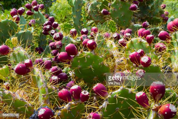 Indian fig opuntia Punta Teno Tenerife Canary islands Atlantic Ocean Spain