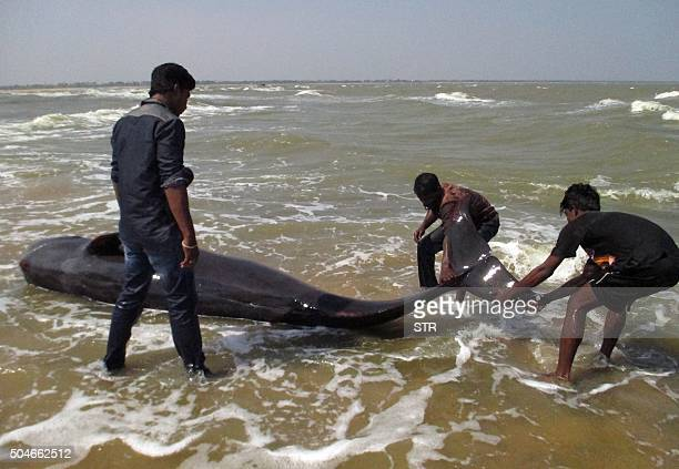 Indian fishermen try to drag a whale that washed ashore in Manapad in Tamil Nadu's Tuticorin district some 600 km south of Bangalore on January 12...