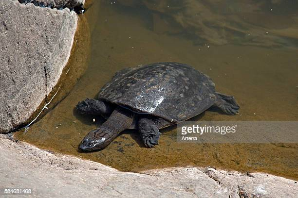 Indian Flapshell Turtle in Ranthambore National Park Sawai Madhopur Rajasthan India