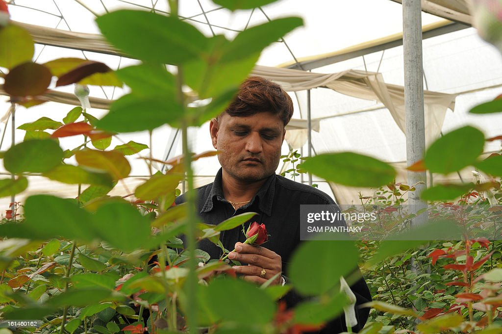 Indian flower farmer Hiteshbhai Patel, 35, checks the quality of Dutch roses at his greenhouse in the village of Badarkha, some 30 kms from Ahmedabad on February 11, 2013. On the Valentine's Day which falls on February 14, the demand for roses and flowers increases as they are given as gifts. Hiteshbhai has included a cold storage facility also in the village to preserve Dutch roses to meet any last minute demand. AFP PHOTO / Sam PANTHAKY