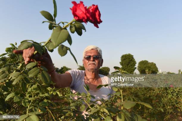 Indian flower farmer Kanubhai Patel shows 'divine roses' which have suffered this year due to the hot weather at his farm in Badarkha village outside...