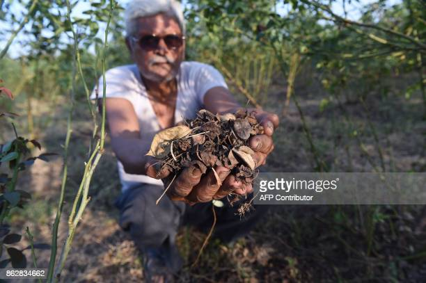 Indian flower farmer Kanubhai Patel shows dry leaves of 'divine roses' which have suffered this year due to the hot weather at his farm in Badarkha...