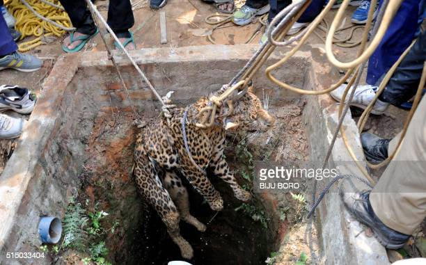 Indian forest department officials and rescuers use ropes to lift a leopard from a well in a residential area of Guwahati on March 12 after it was...