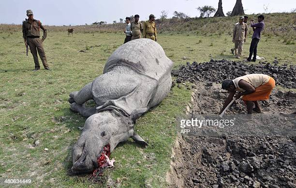 Indian forest officials and security personnel inspect the body of a onehorned rhinoceros which was killed and dehorned by poachers at the Pobitora...