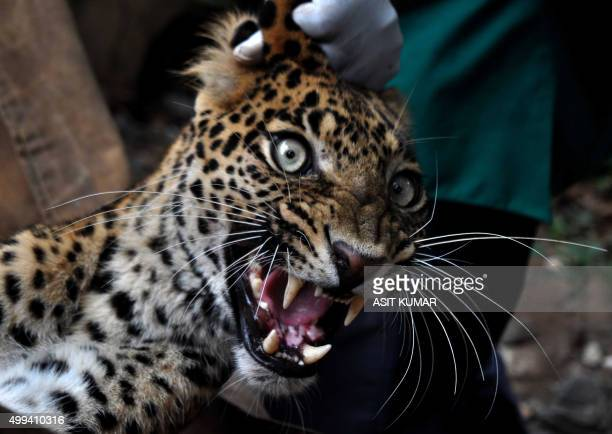 Indian forest officials and veterinary doctors carry a tranqulised injured leopard for treatment outside a veterinary hospital in Bhubaneswar on...