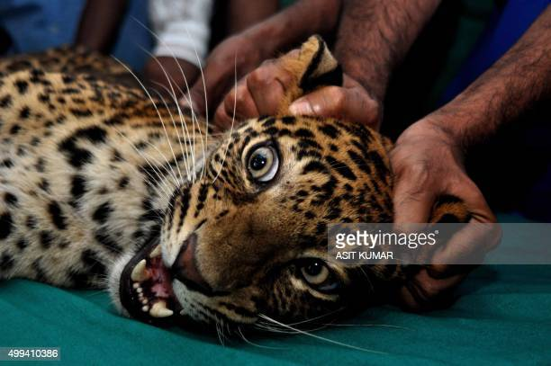 Indian forest officials and veterinary doctors tend to the injuries of a tranquilised injured leopard at a veterinary hospital in Bhubaneswar on...