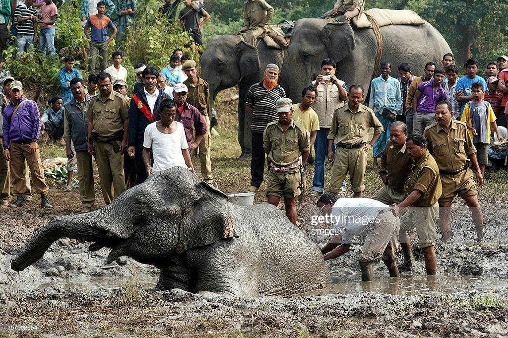 Indian forest officials attempt to sedate an elephant stuck in the mud after poachers removed the tucks at the foothills of Pancharatna Phar in Goalpara, Assam on December 8, 2012. While India is home to the greatest concentration of elephants in Asia, populations are fast diminishing and the Asian elephant is faced with extinction.