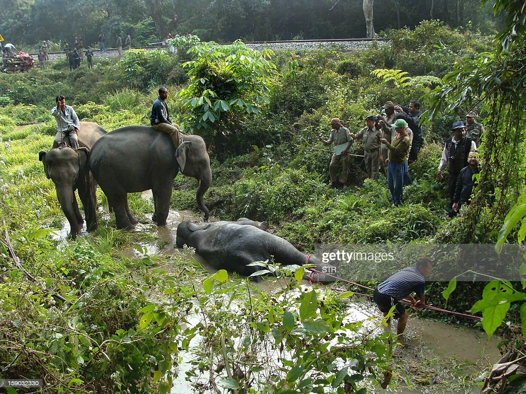 Indian forest workers drag a critically injured elephant calf from marshy land alongside the railway line in the Buxa Tiger Reserve in West Bengal on January 6, 2013. Three elephants, an adult female and two young males were killed and two calves injured when the speeding Guwahati-bound Jhaja Express crashed into them inside West Bengal's Buxa Tiger Reserve. AFP PHOTO