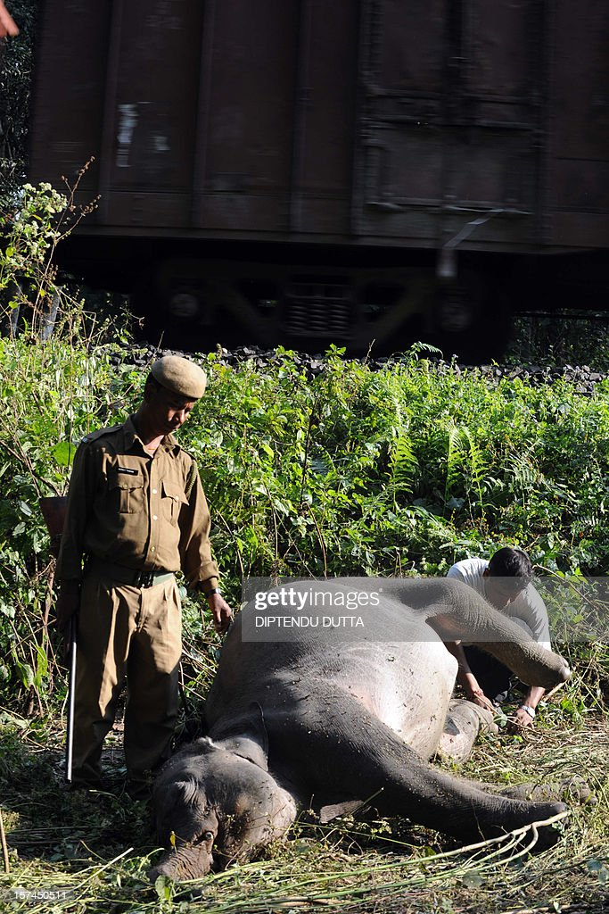 Indian forestry workers look at the body of an elephant after it was struck by a passenger train at Mahananda Wildlife Sanctury, some 35 kms from Siliguri on December 3, 2012. The two year old female elephant was hit by a speeding train while crossing the track as several trains pass along the route in the state of West Bengal's Dooars Forest. AFP PHOTO/Diptendu DUTTA