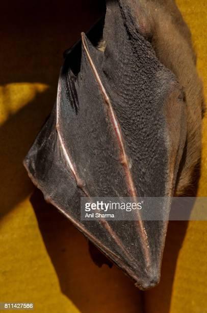 Indian Fruit Bat (Pteropus giganteus)