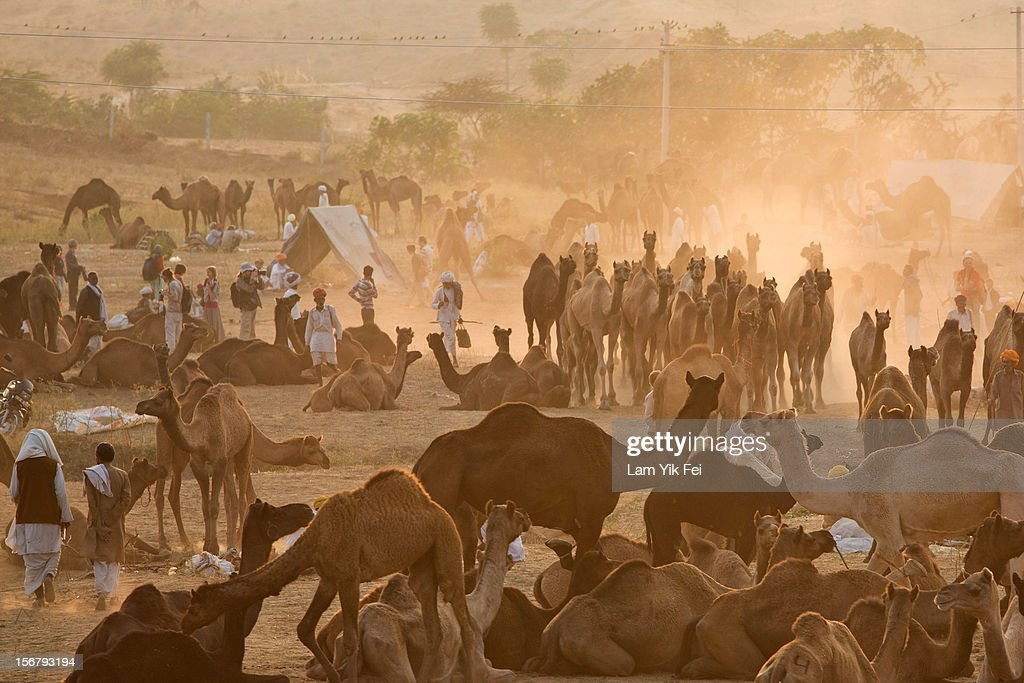Indian herders walk past camels during the Pushkar camel fair on November 21, 2012 in Pushkar, India. The annual camel and livestock fair is held over five days, and attracts thousands of tourists.