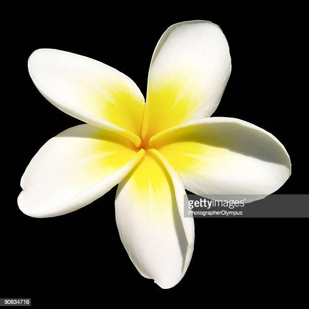 Indian jasmine on black (frangipani)