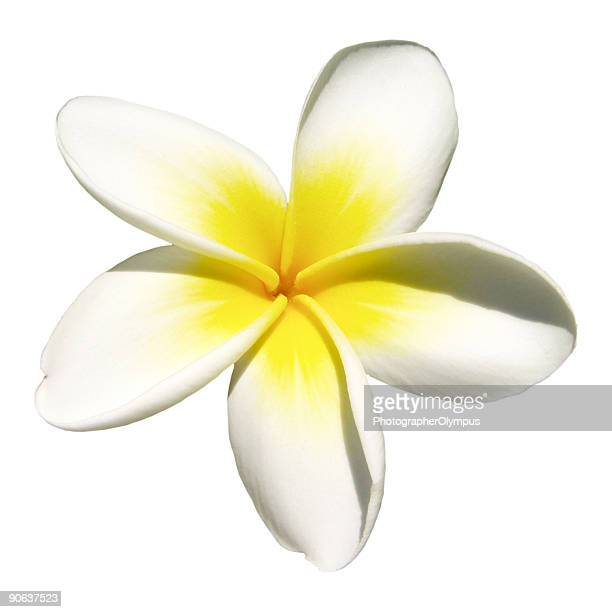 Indian jasmine on white (frangipani)