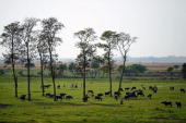 Indian joggers run past cattle in a field at Fafamau Village on the outskirts of Allahabad on March 31 2014 AFP PHOTO/SANJAY KANOJIA