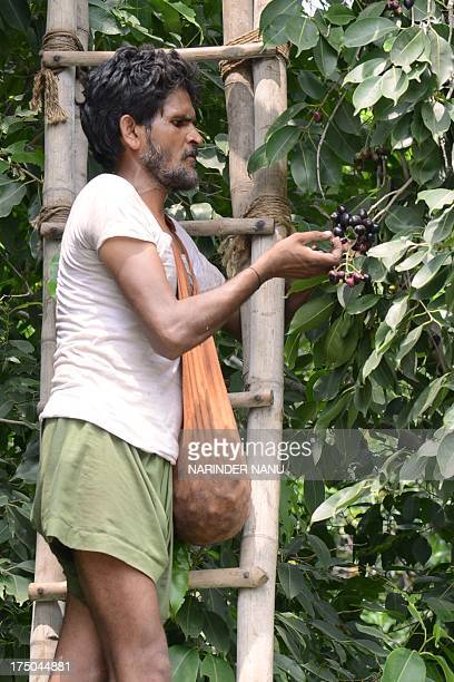 Indian labourer Charanjit Singh picks jamun fruit at an orchard near the IndiaPakistan Wagah Border about 35 Km from Amritsar on July 30 2013 Jamun a...