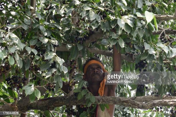 Indian labourer Gurmukha Singh picks jamun fruit at an orchard near the IndiaPakistan Wagah Border about 35 Km from Amritsar on July 30 2013 Jamun a...